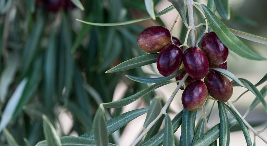 Royal olive tree variety
