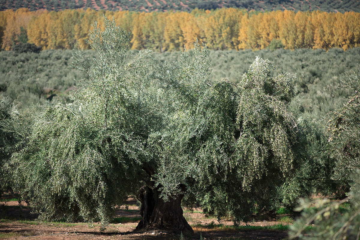 olivo-picual