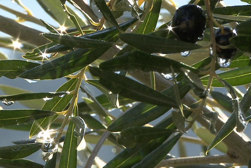 Gotas de lluvia en un olivo picual