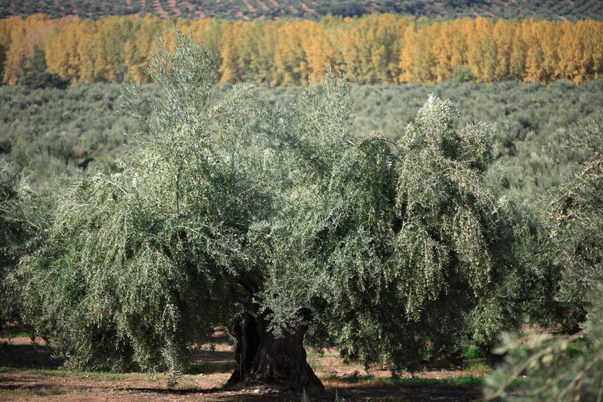 Olivo picual en plena producción