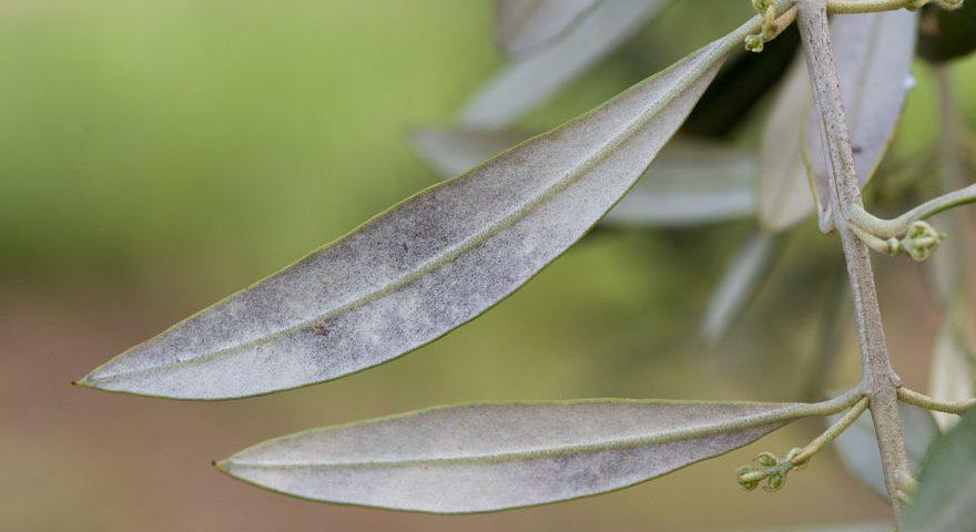 Hojas de olivo con síntomas de repilo plomizo